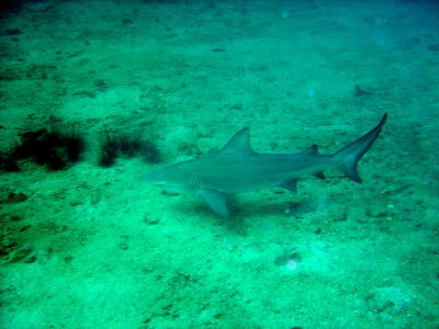 Bull Shark - Click to Enlarge
