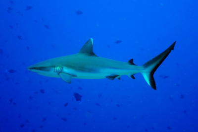 Grey Reef Shark - Click to Enlarge