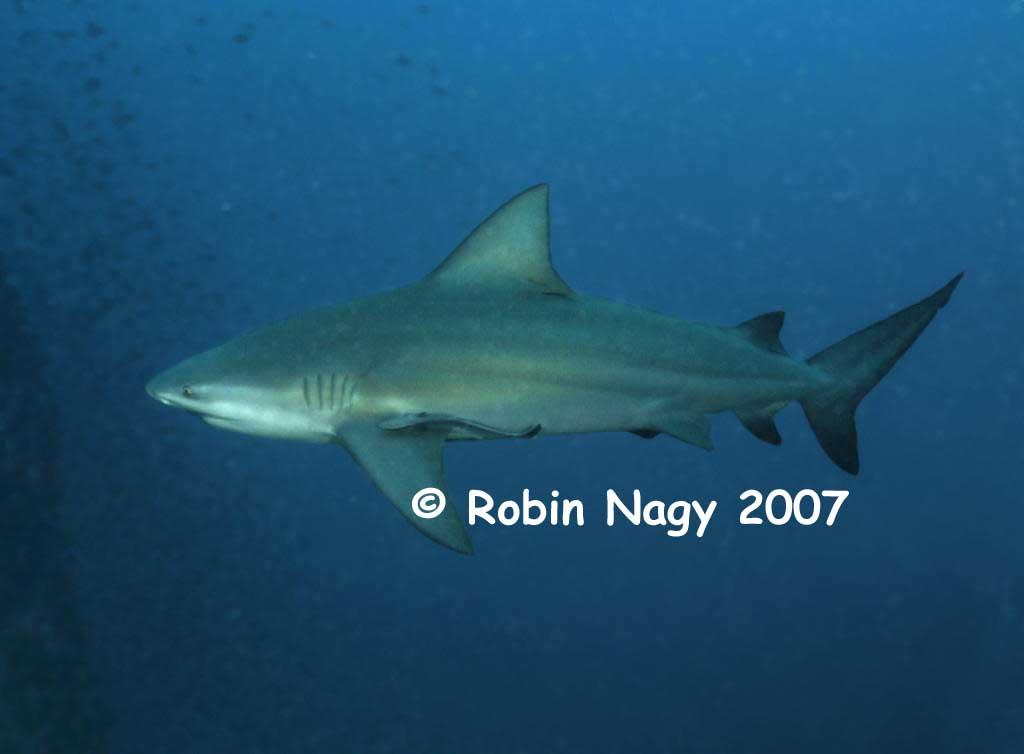 Bull Shark - Click to Enlarge Grey Reef Shark Vs Bull Shark